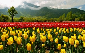 Tulip Gardens is one of the most spectacular thing which you can witness only in Spring season in Kashmir