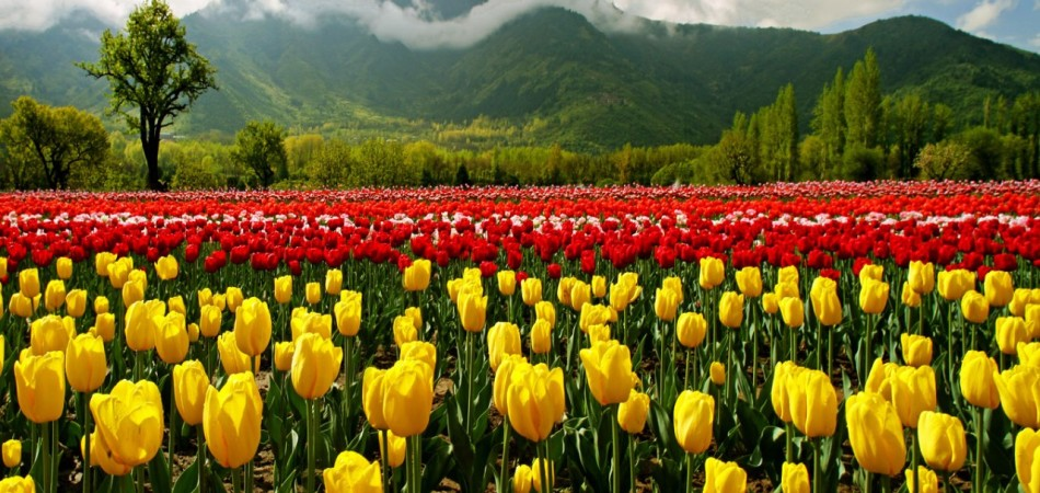 Tulip Gardens are the most loved attarctions in Kashmir