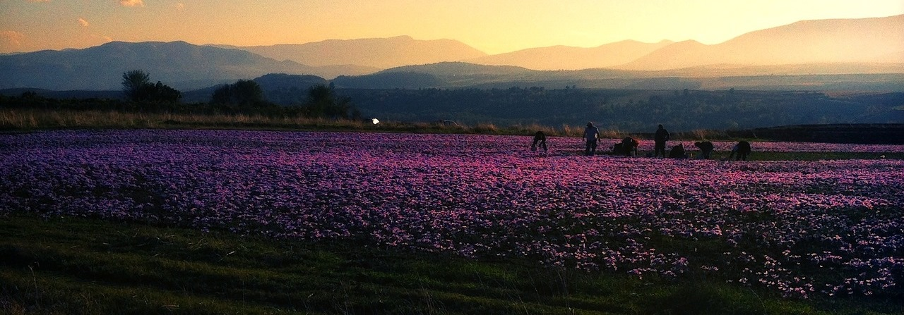 Splendid sunset view of saffron fields in Kashmir